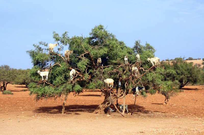 morocco goats climbing in argan tree istk