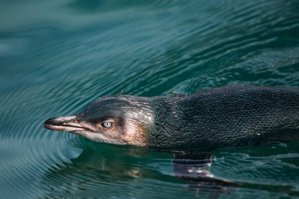 new zealand otago little penguin swimming tnz