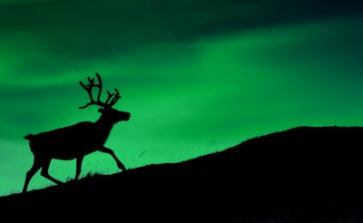northern norway reindeer silhouette against aurora borealis istk