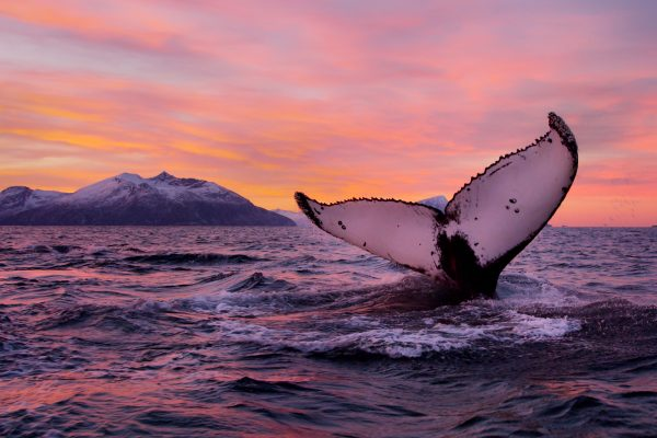 norway wildlife humpback tail whale vn