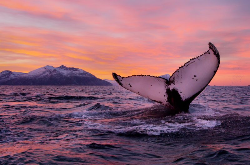 Humpback Whale - Norway