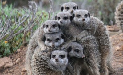 south africa oudtshoorn meerkat family
