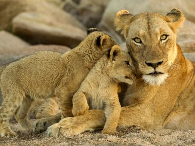 south africa wildlife lioness and cubs