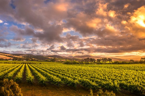 south australia barossa valley vineyard istk