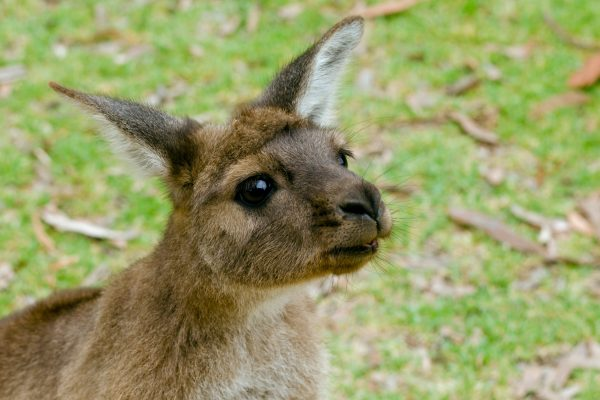 south australia kangaroo island local istk