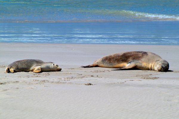 south australia sleeping sea lions kangaroo island istk