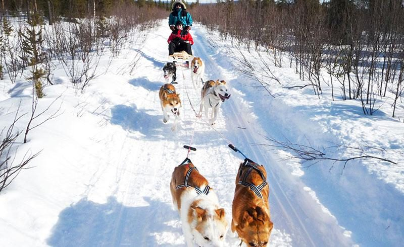 sweden camp ripan dog sledding