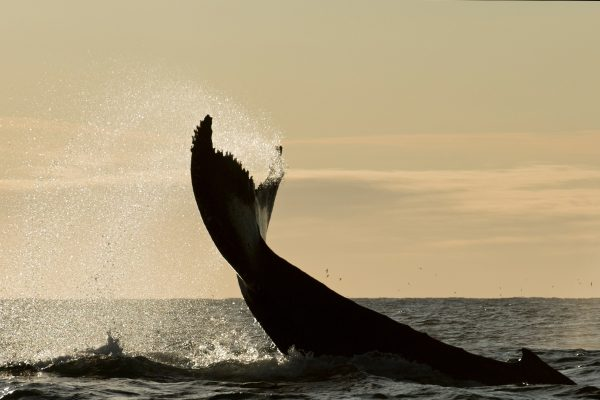 western australia humpback tail sunset istk