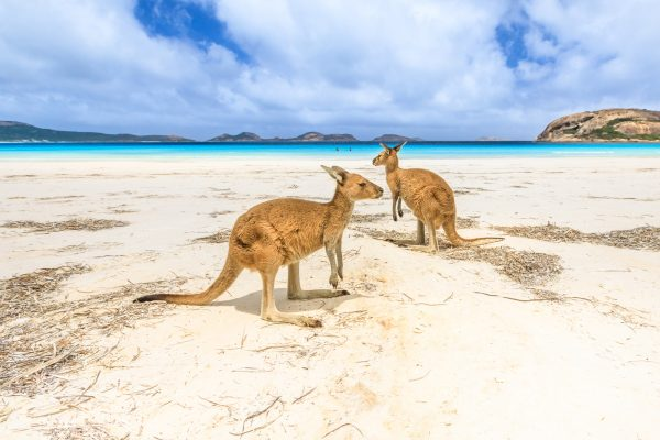 western australia lucky bay kangaroos on beach istk