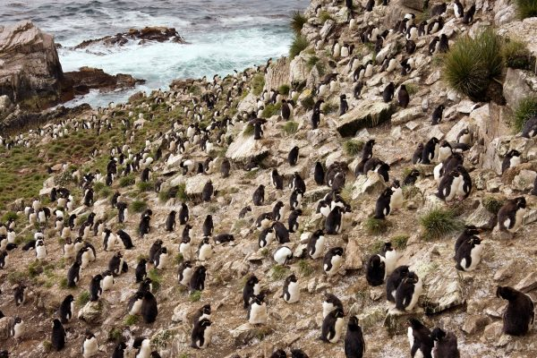 antarctica falkland islands pebble island rockhopper penguins istk