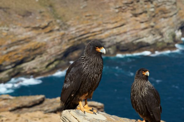 antarctica falkland islands striated caracara istk