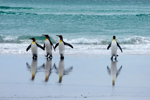 antarctica falkland islands volunteer point king penguins gt