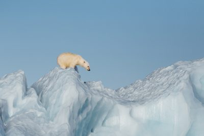 arctic franz josef land lone polar bear on ice psdn