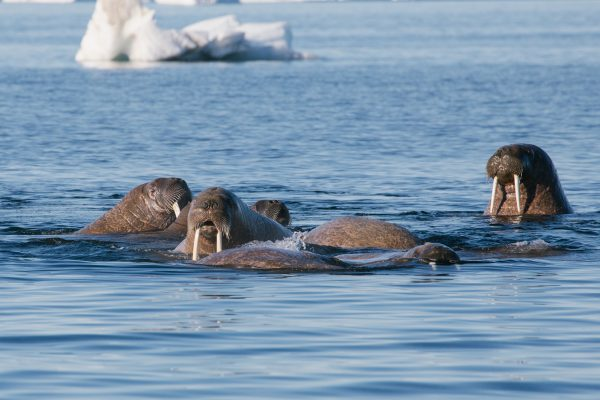 arctic franz josef land walrus in sea psdn