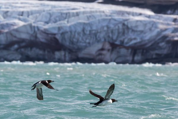 arctic spitsbergen 14th july glacier guillemots in flight istk
