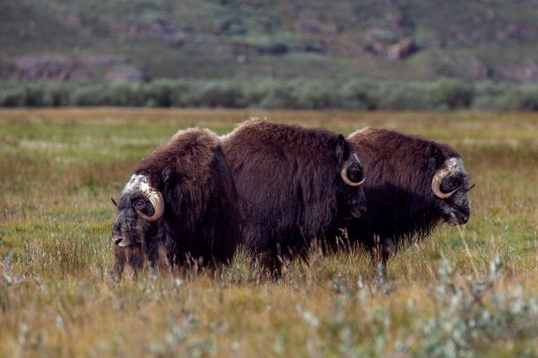 east greenland musk ox in tundra istk