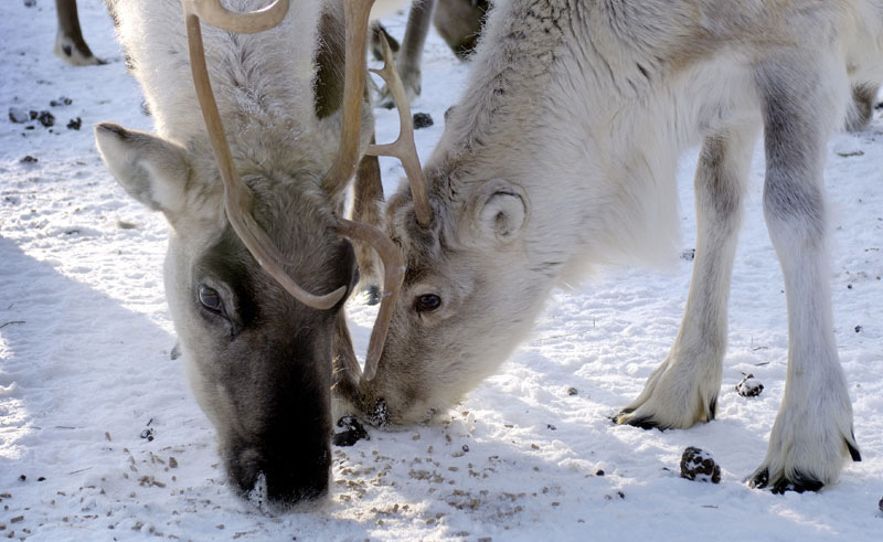 finland lapland iso syote reindeer farm