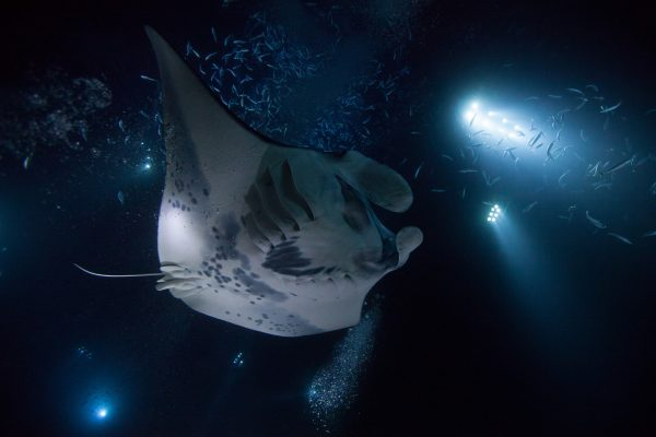 hawaii manta ray night dive istk