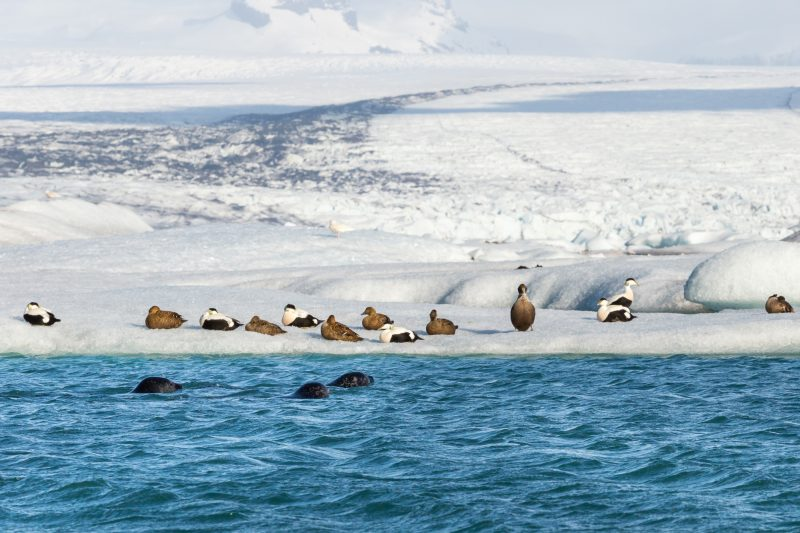 iceland south east eider ducks and seals at jokulsarlon istk