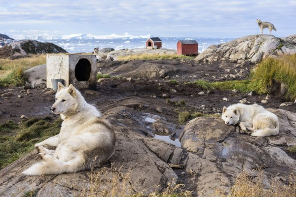 west greenland huskies outside settlement summer istk