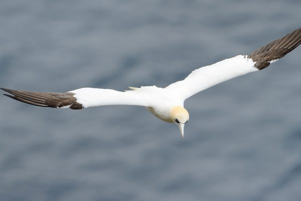 scotland shetland islands unst flying gannet istk