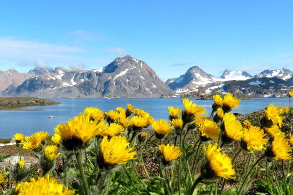 east greenland kulusuk island flowers close up ch
