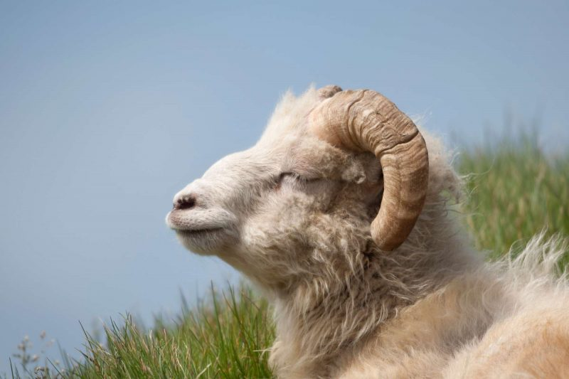 faroe islands faroes sheep in sun adstk