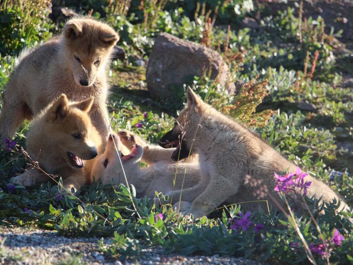 greenland east husky puppies client blog