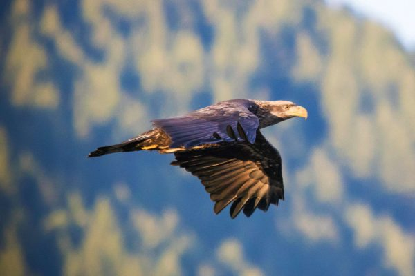 canada british columbia golden eagle in flight istk