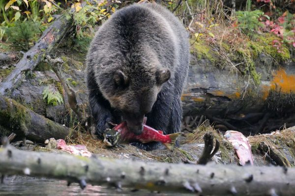 canada british columbia grizzly bear eating salmon ecot