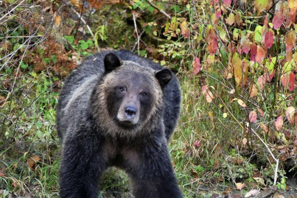 canada british columbia grizzly bear ecot