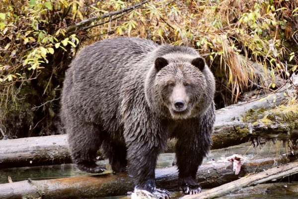canada british columbia grizzly bear stare ecot