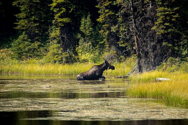 canada british columbia moose emerging from river istk