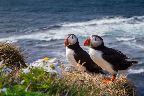 iceland atlantic puffin pair istk