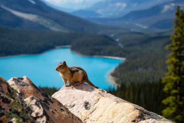 canada alberta chipmunk at peyto lake istk