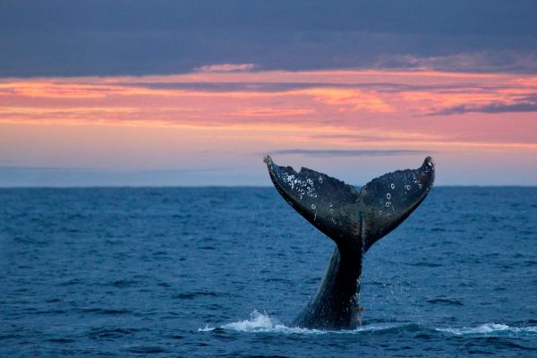 baja california grey whale tail sunset istk