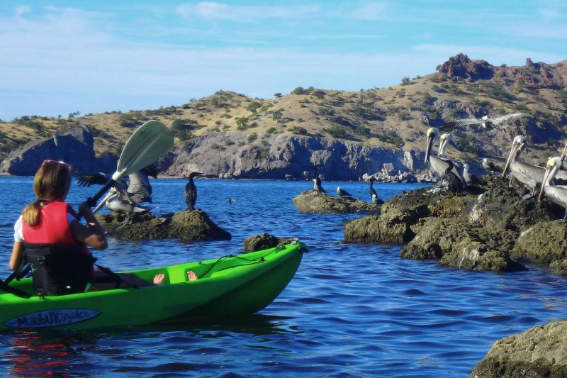baja california kayaking with pelicans uncr
