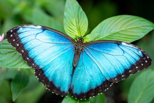 costa rica blue morpho butterfly curu national wildlife refuge istk