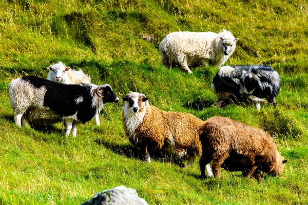 faroe islands flock of sheep istk