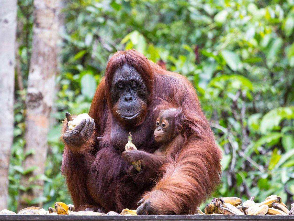 indonesia borneo orangutan and baby tanjung puting istk