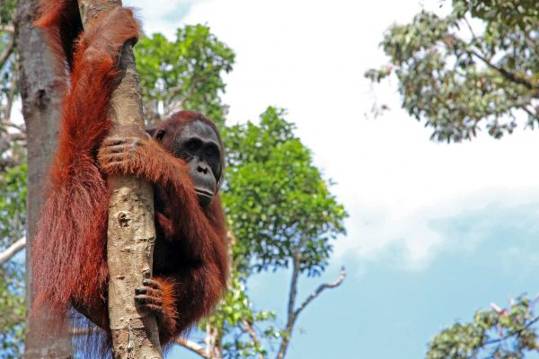 indonesia borneo orangutan in tree tanjung puting istk