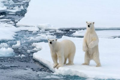 svalbard polar bear pair adstk