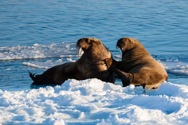 arctic spitsbergen walrus on pack ice istk