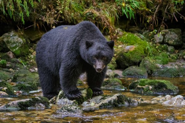 canada british columbia black bear great bear rainforest istk
