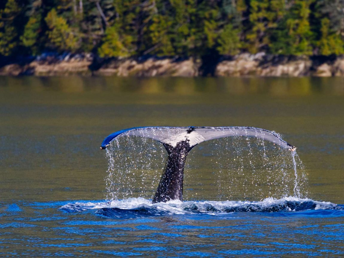 canada british columbia humpback tail diving by shoreline istk