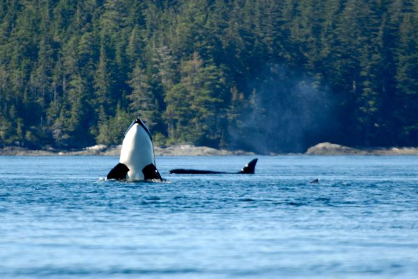 canada british columbia orca spy hopping off vancouver island istk