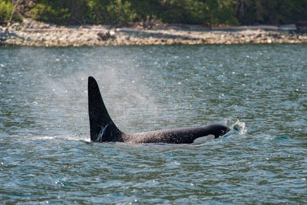 canada british columbia orca surfacing off vancouver island istk