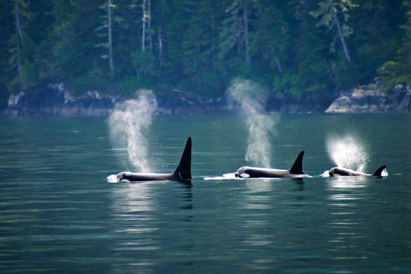 canada british columbia three orcas off the coast istk