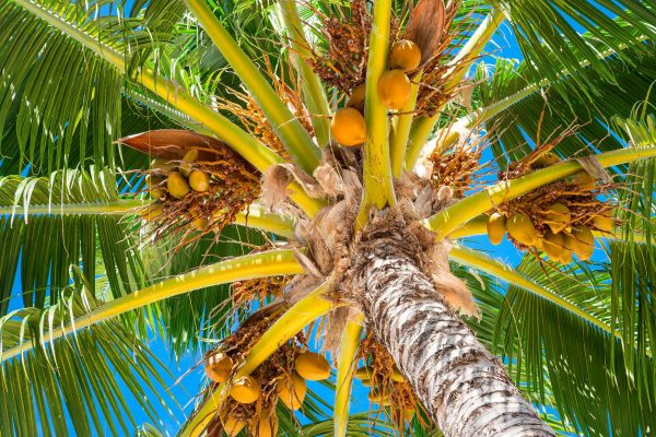 french polynesia coconuts underneath a palm tree istk