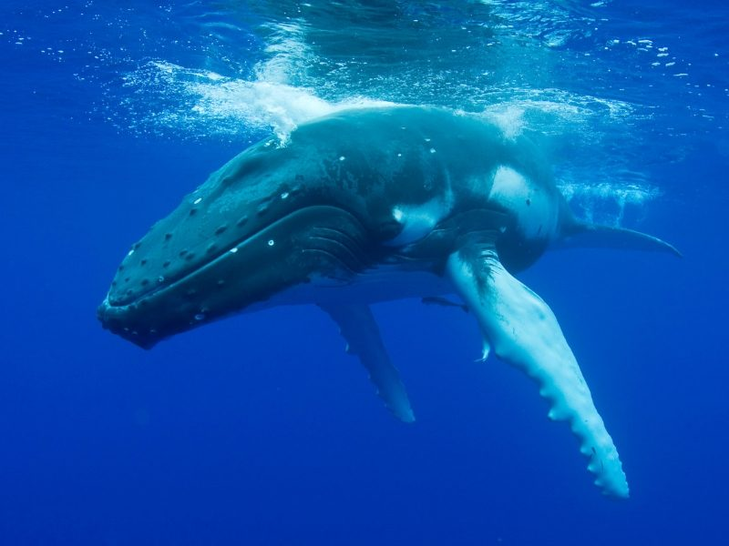 humpback whale underwater blog
